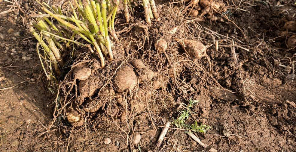 One way to get more dahlias or to replace old tubers with younger healthier one is by dividing the tuber. We explain step by step how to split and divide dahlias.