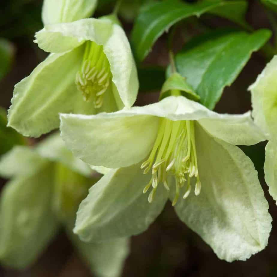 Jingle bells winter flowering clematis
