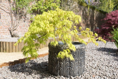 This Japanese maple tree is best known for the stunning foliage that takes on reddish-purple to green colours depending on the variety. It's quite tolerant of rabbits so if that is a pest you contend with currently, you won't have to worry once you plant your Japanese maple.