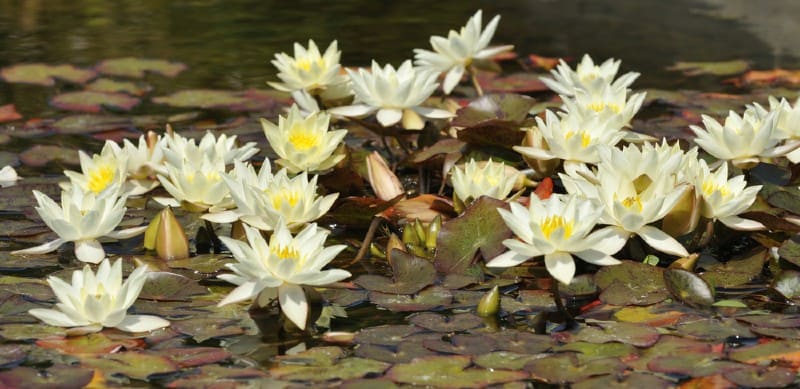 In this article, we look at 6 of the best pond plants for small ponds which are easy to grow. We feature both d floating and submerged plants.