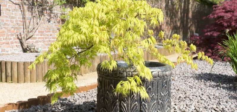 If you are looking to plant small trees in your garden in containers or pots, rest assured there are many small trees that are perfectly suited to your needs. We list 10 of our favourite trees for planting in pots.