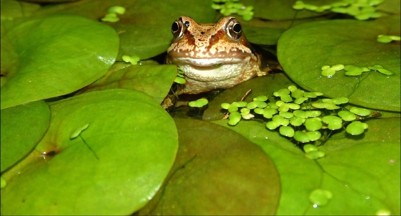 Floating pond plants and perfect for most ponds and they have many benefits and encourage wildlife into the pond. We have listed 7 top floating pond plants.