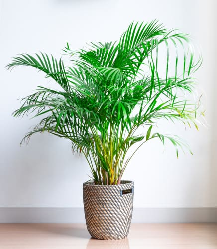 The plant is generally disease-free for the most part and has been deemed one of the top 10 purifying plants by NASA. It produces feathery fronds that arch, each containing upwards of 100 leaflets sure to demand attention.
