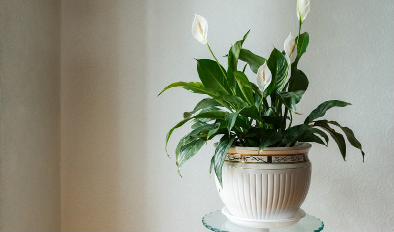 It can be difficult to find indoor house plants for rooms with low light, the good news is there are some that will naturally thrive. See our top 8 house plants for shade