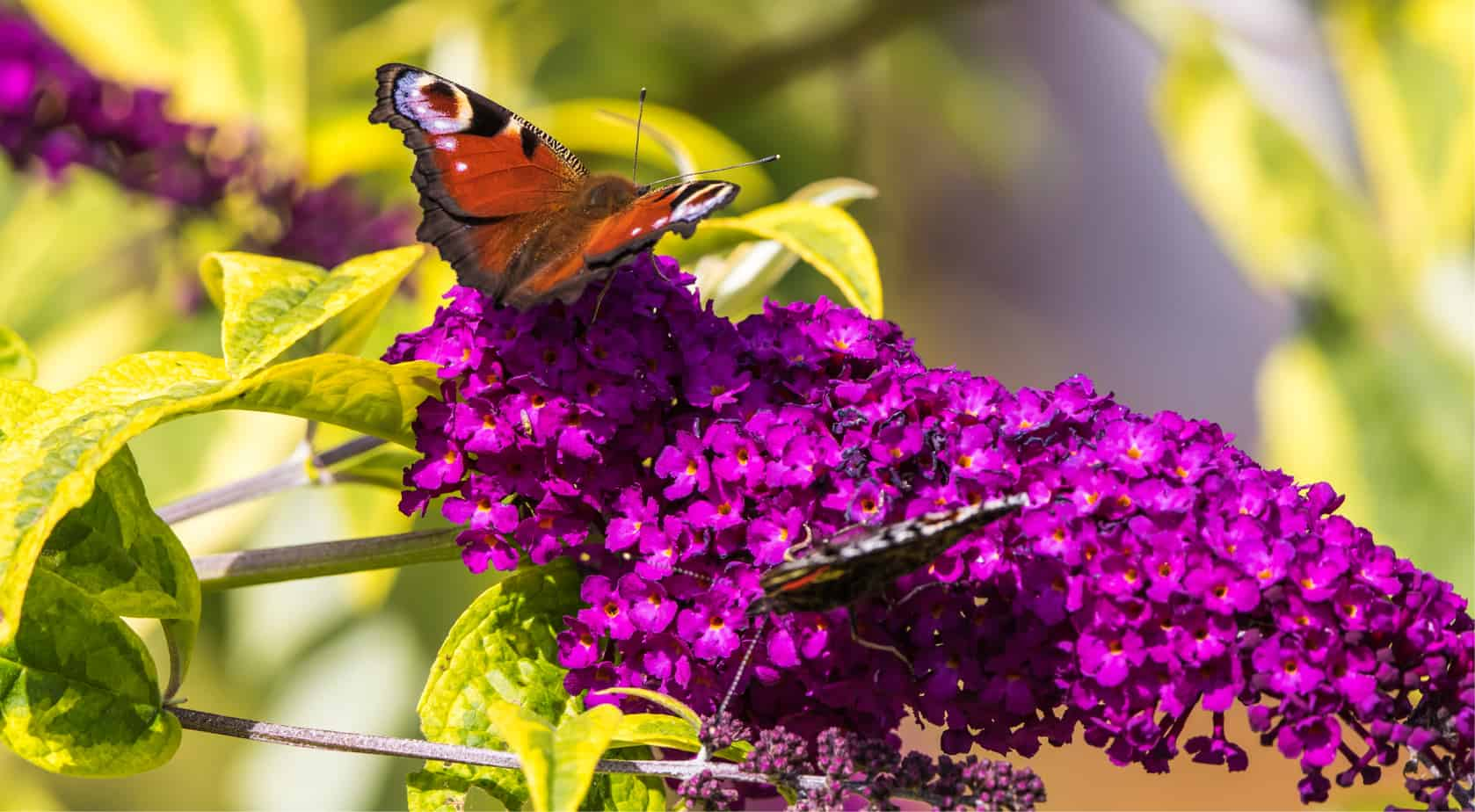 If you looking for the best plants for butterflies then we have 8 of our favourite plants to recommend from shrubs to herbs. Learn more now with these nectar plants
