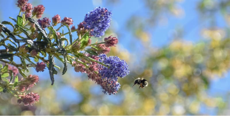 Bees are very important for pollinating plants and they are unfortunately on the decline. We have listed our favourite shrubs for attracting bees into your garden