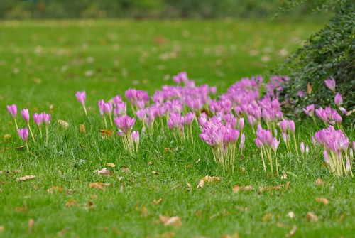 planting bulbs in grass