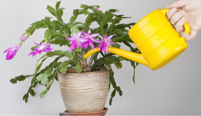 Growing Christmas cactus can be very rewarding but they do need to go through a specific process to get them to successfully flower. Planting, pruning and more.