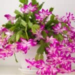 Christmas cactus pruning should be done after flowers or early March, generally, no pruning is needed but it can help rejuvenate leggy and overgrown plants.