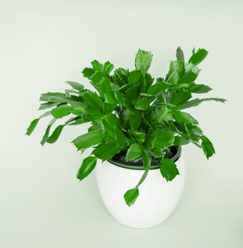If you are experiencing poor flowering or no flowering on your christmas cactus, it is likely the result of the temperature and seasonal conditions.