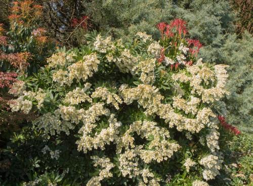 Cutting back overgrown pieris - prune after flowering