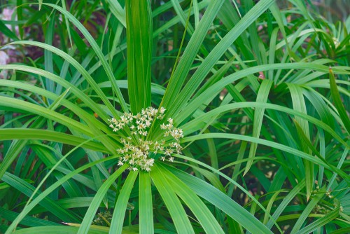 This umbrella palm is a native of Egypt and is more of an aquatic but it grows well in the home if you stand the pot in a saucer of water to keep the soil moist.