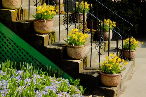 planting daffodils in pots