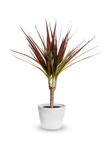 this Dragon Plant has stiff leaves but colourful foliage. They grow as a single stem but you can try to grow multiple plants in one container and they will braid together. They have aggressive root systems which make them easy to grow indoors, especially for beginners. At full maturity, they will reach 1 metre in height.