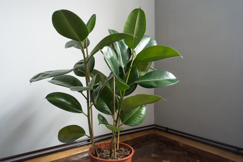 Traditionally a tree from which sap is converted into rubber, this tree can be grown indoors with easy and will even take a couple of morning hours of direct light.