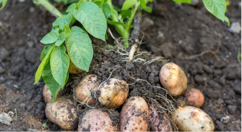 In this article, we learn how to grow Christmas potatoes to provide delicious new potatoes in time for Christmas dinner. Learn about growing Christmas potatoes.