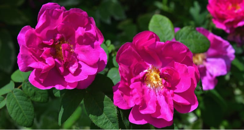Growing Rosa Rugosa and care