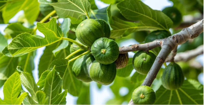 Growing fig trees is something you can do in the UK but they need a sheltered position, usually against a wall or fence. Read our growing and care guide now.