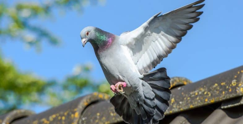 How to keep pigeons away from plants and out of your garden