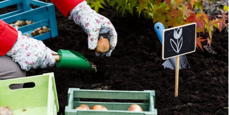 How to plant Tulip bulbs - step by step