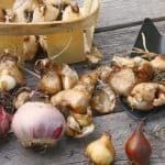 How to plant bulbs and growing guide
