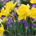 Daffodils bulbs can be planted to provide much-needed spring colour and the best time is in Autumn in well-drained soil, plant twice the depth of the bulb. Learn more