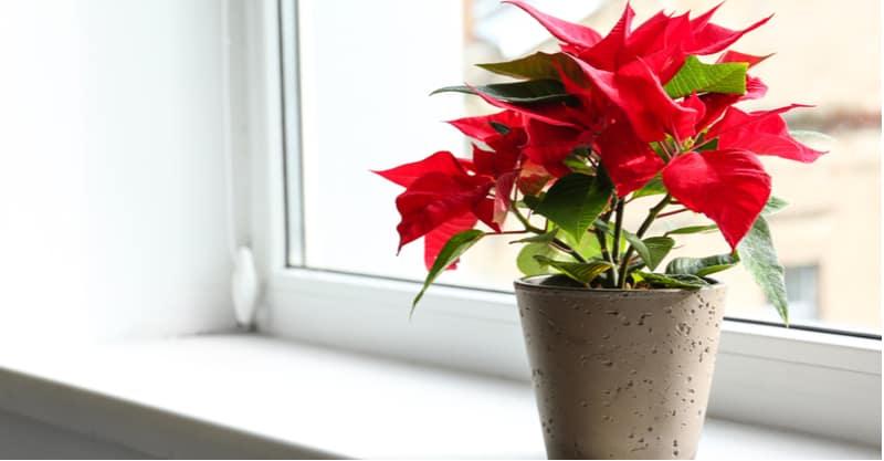 How to turn poinsettia red again