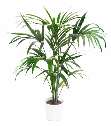 This palm is quite popular because of its shape and the fact that it very easy to grow and can almost thrive when neglected.