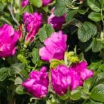 Rosa Rugosa makes fantastic hedging roses and responds well to pruning but it needs to be done correctly and at the right time so you don't remove the hips.