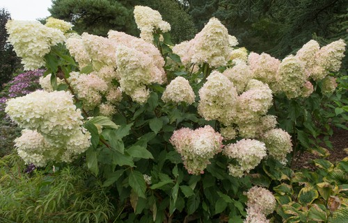 The main consideration of working out when and how to prune a particular shrub is whether its deciduous or evergreen and when it flowers.