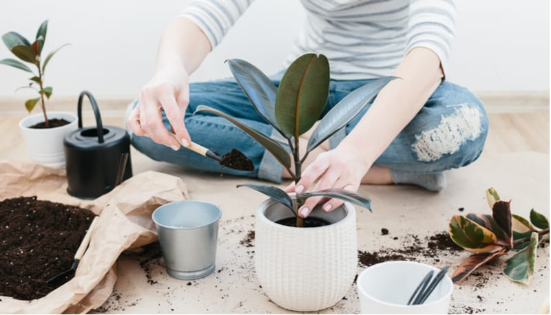 One of the most popular house plants is the Ficus also known as the Rubber plant. In this guide, we look at rubber plant care and planting tips as well as possible problems, pruning and more