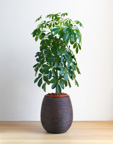 This popular plant comes in many varieties including dwarf varieties making it flexible for all situations and growing environments. Grown indoors you need to make sure it gets access to a lot of bright, indirect light.