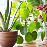 If you have a small room or even an apartment there are some stunning house plants that don't get too large you can choose. We look at 10 of our favourite plants.
