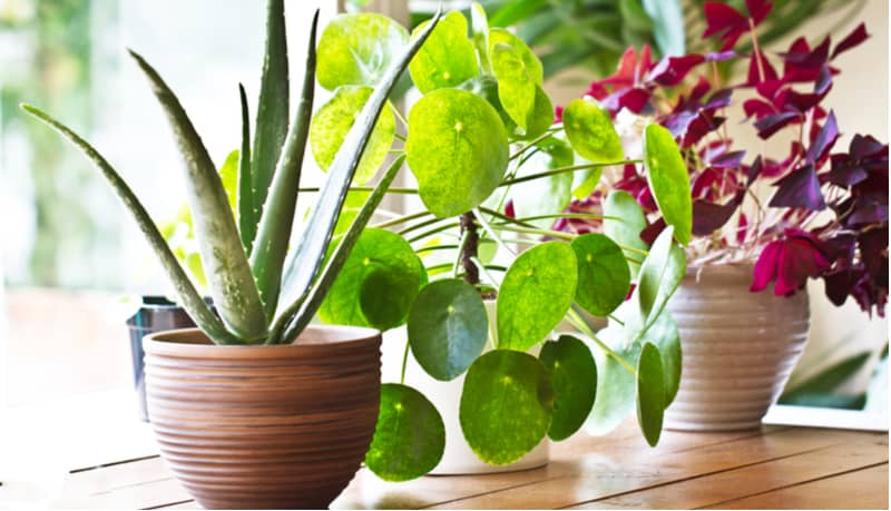 10 Small Indoor Plants For Small Rooms And Apartments Pyracantha Co Uk