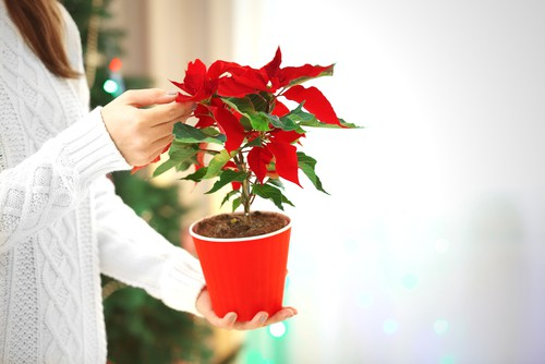 Changing poinsettias from green to red again using the amount of light they get