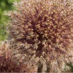 What to do with Alliums after flowering