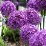 When to plant and grow alliums
