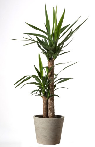 This variety of plant is flexible insofar as it can be grown as an indoor plant or outdoor plant.