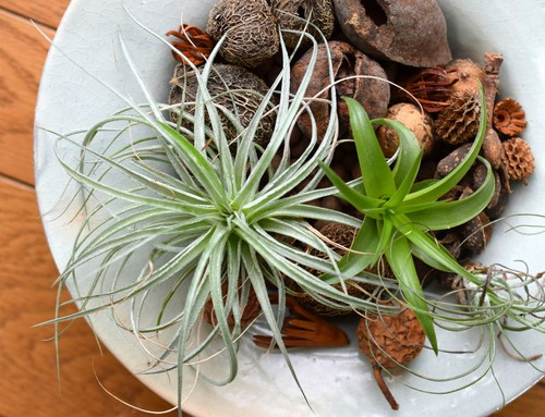 Air plants, of which there are many, are a wonderful plant to grow indoors. Many of these do not need direct sunlight, but rather, indirect sunlight, so they can be grown near a small window or on a table that has access to brightness during the day.