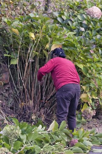 Hard pruning shrubs