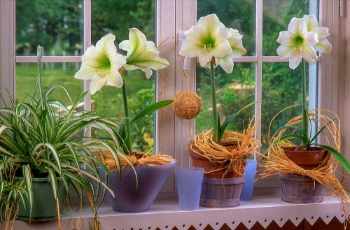 Amaryllis bulbs planted to October to flower in late December