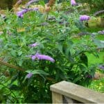 Buddleia Care - Growing buddleia Butterfly Bushes
