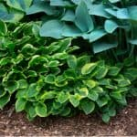 Dividing hostas - how and when to divide hostas