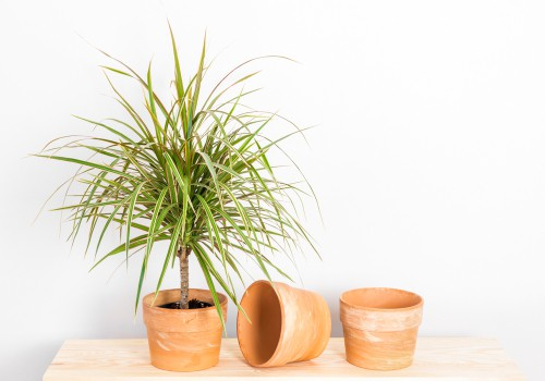 Dracaena Marginata Cordyline. best for outdoors in summer and indoors in winter or as house plant