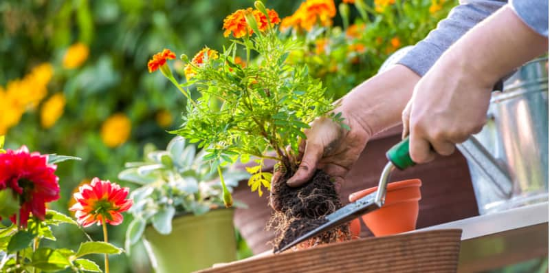 Gardening jobs for May. Plant out summer bedding and sow more veg. feed lawn, keep on top of weeds
