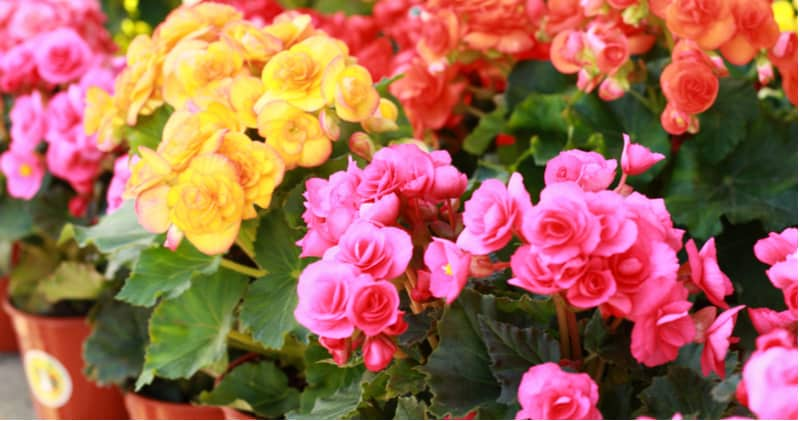 Begonias are one of the most stunning of plants and with many different types, there's a lot to learn. Learn about growing begonias now from bedding begonias to stunning non stop begonias and trailing begonias.