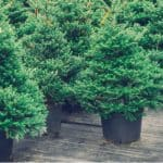 Growing Christmas Trees In Pots is a good way to help control the size for those who don't want to grow one in the ground who don't have the room. Learn more