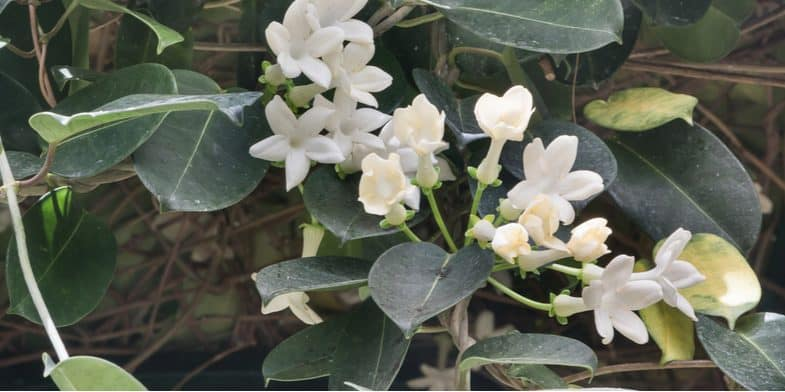 Growing Jasmine – Planting, general care, pruning and propagation