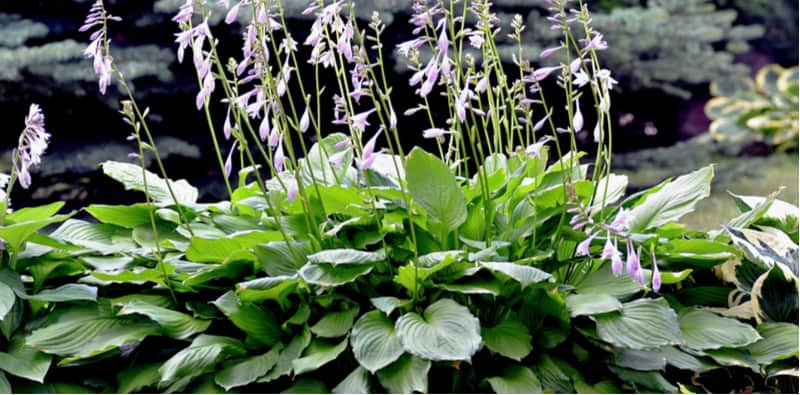 Growing Hostas is really enjoyable and they are such stunning plants to shows in shadier areas of the garden and grow well in pots. Learn how to grow Hostas now