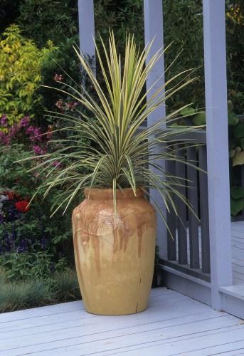 Growing cordylines in pots